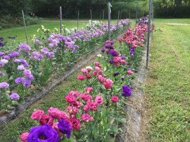 PYO Flowers at Cedar Circle Farm
